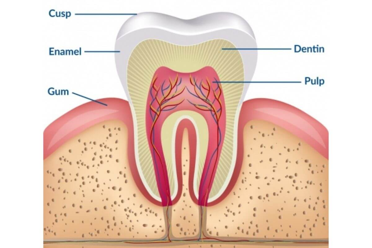 teeth whitening science anatomy of a tooth